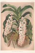 Plakat Orkidé 50x70 cm